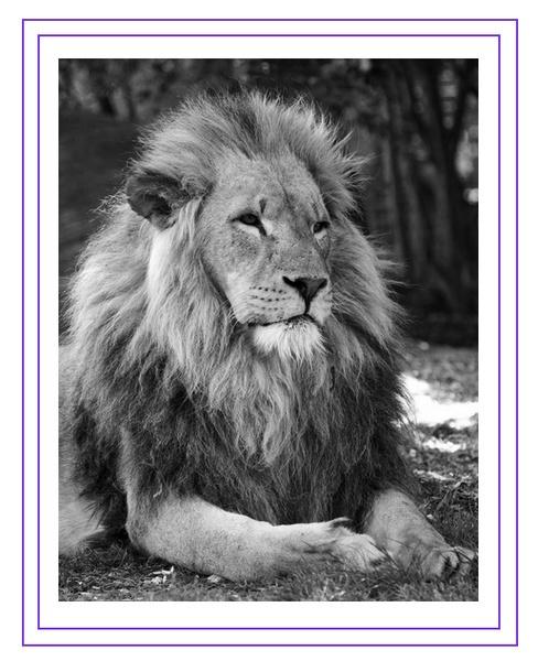lion by gstuart24