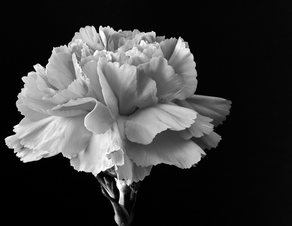 Carnation by Ade1771