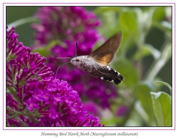 Humming Bird Hawk Moth (Macroglossum stellatarum) by Ray42