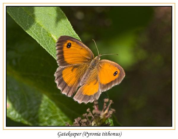 Gatekeeper (Pyronia tithonus) by Ray42