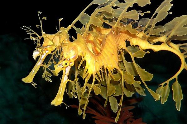 Weedy Sea-dragons by KangaGal