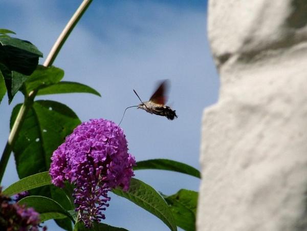 Hummingbird Hawkmoth feeding by HobbitDave