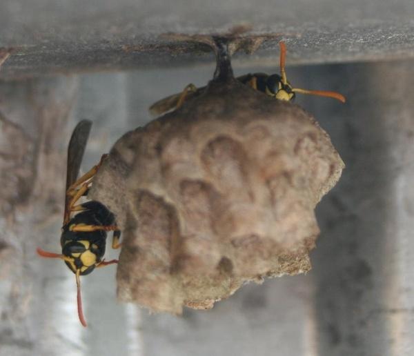 Waps Nest by fjchrystello