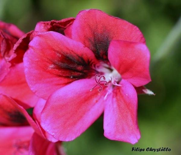 Flower by fjchrystello