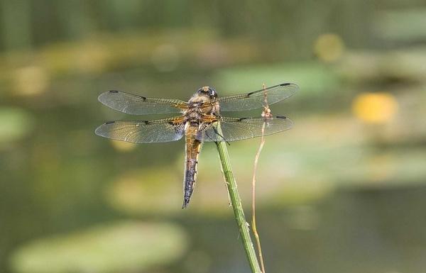 dragon fly by chrisg7syt