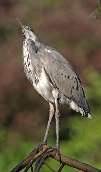 Grey Heron in Tree by mikewarnes