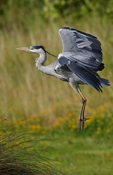 Grey Heron by mikewarnes
