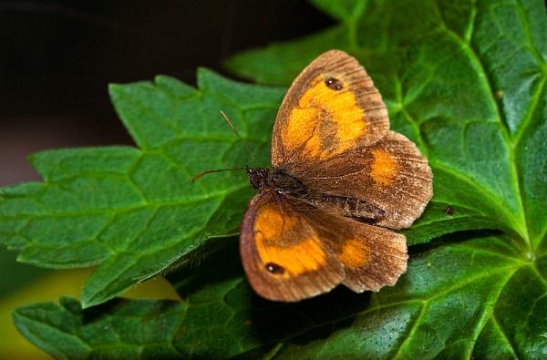 Butterfly by markharrop