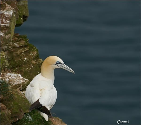 Gannet by Portknockie