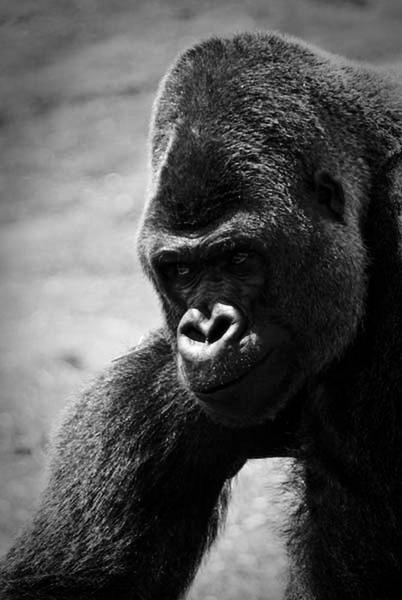 Gorilla by tsmith
