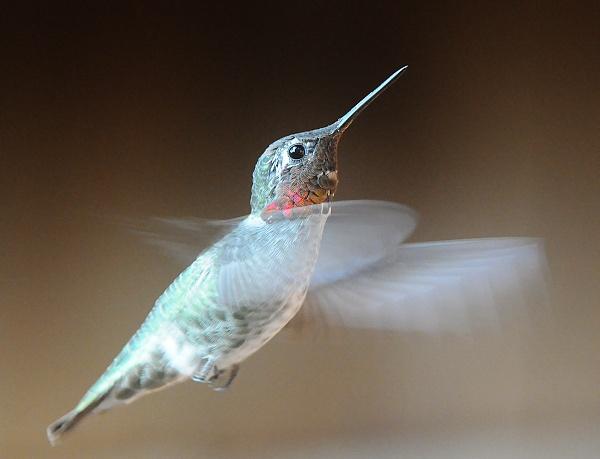Anna\'s Hummingbird by VNelson