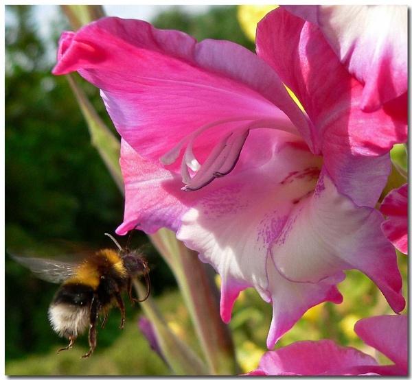 Bugs on gladioli by bunbeam