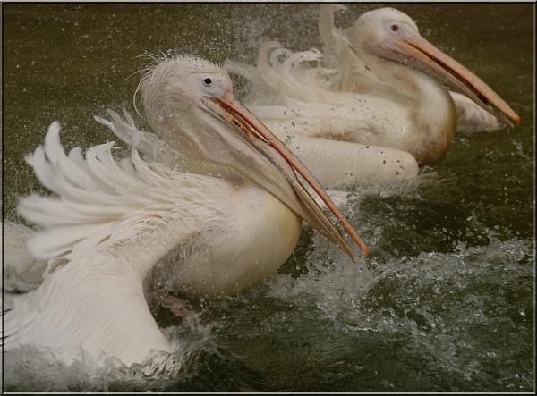 Pelican by dickiedriver