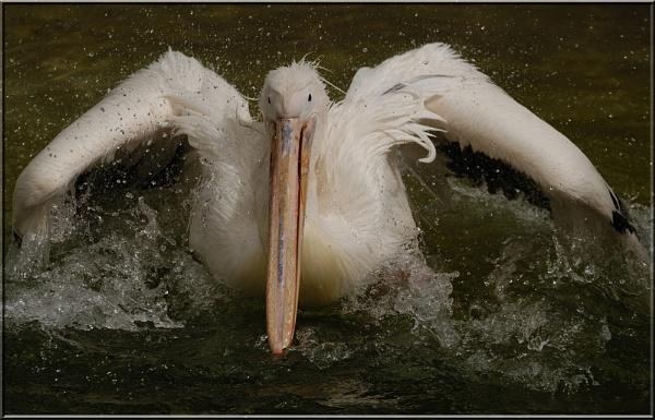 Pelican 2 by dickiedriver
