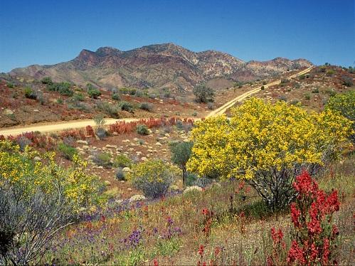 Wildflowers in the Flinders Ranges. by STOCKSHOTS4U