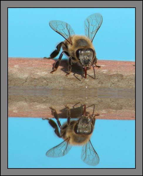 Bee #4 by Pieter_Kotzee