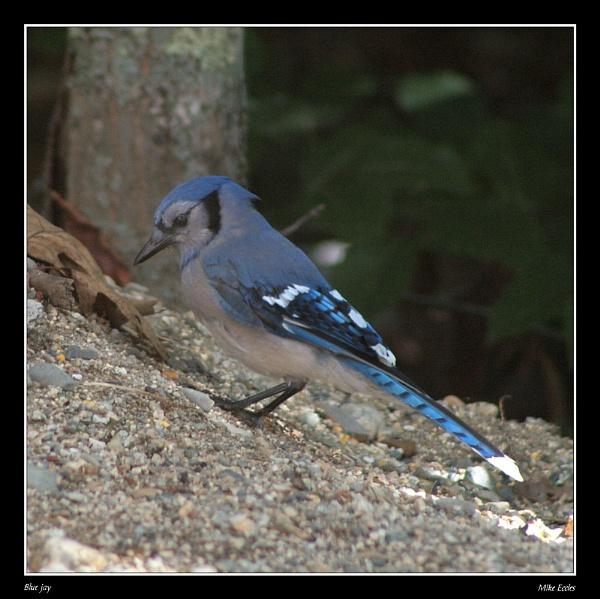 Blue Jay by oldgreyheron