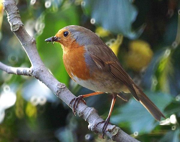Robin by Thincat