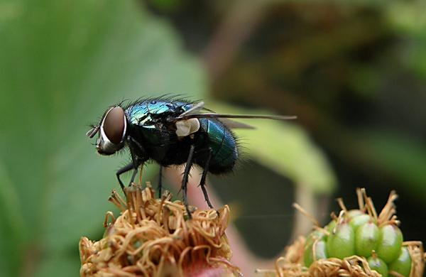 Bluebottle by Birdyian