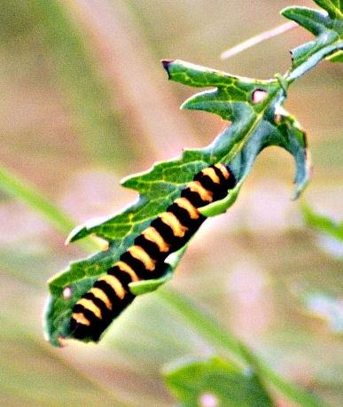 Cinnibar Moth Caterpillars by Christopher_Malpas