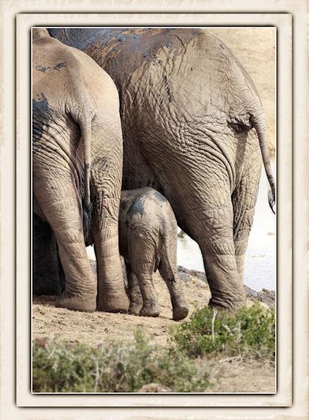Elephant by challicew