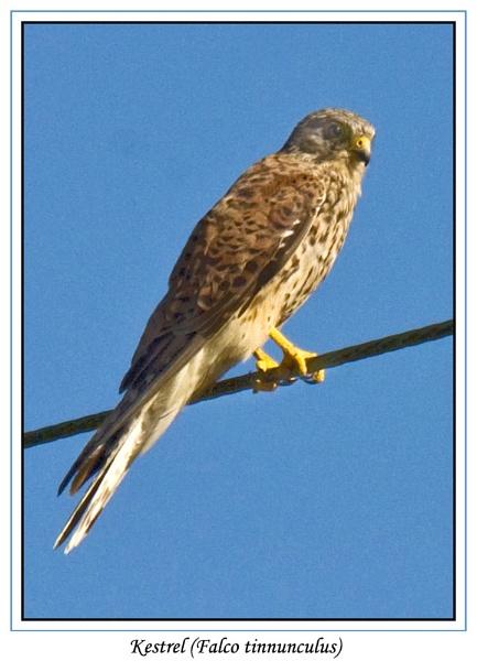 Kestrel (Falco tinnunculus) by Ray42