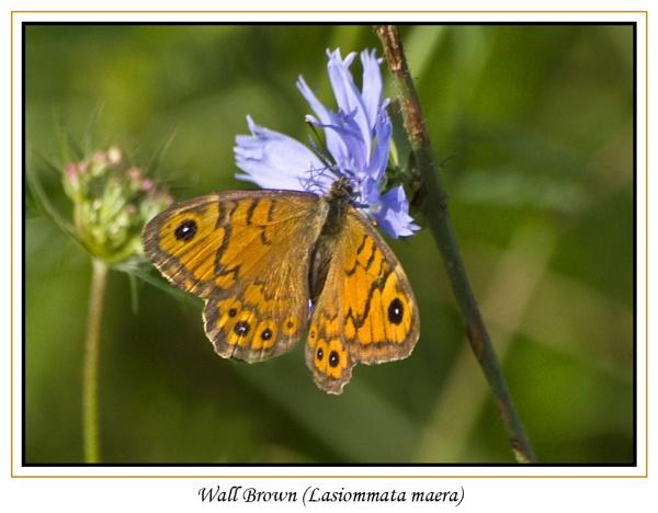 Wall Brown (Lasiommata maera) by Ray42