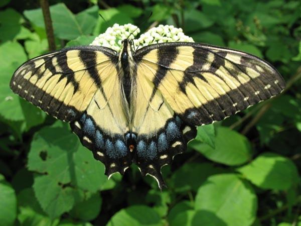 Butterfly by MaveKel