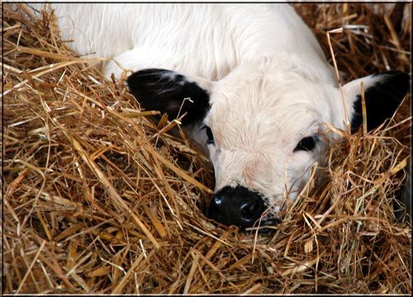 Cute Calf by maggie66