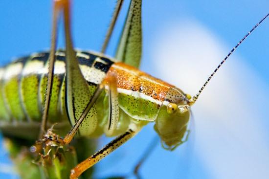 Bush Cricket by mattphotos