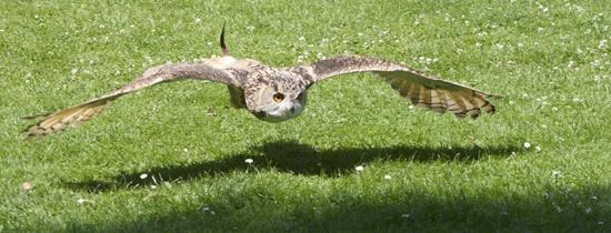 Eagle owl in flight by mattphotos