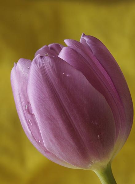 tulip by RLB