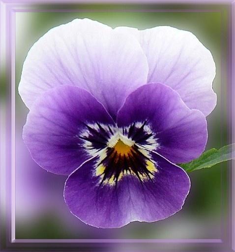 Pretty Purple Pansy by mrsvee