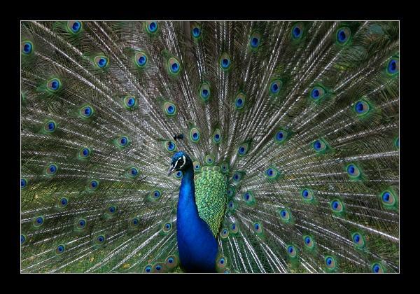 Peacock by SteveNZ