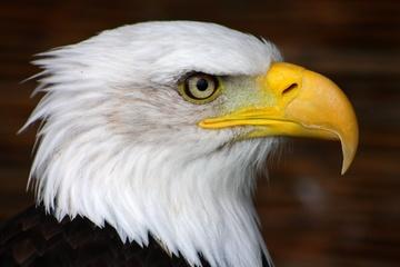 Bald Eagle Portrait by jdmphotography