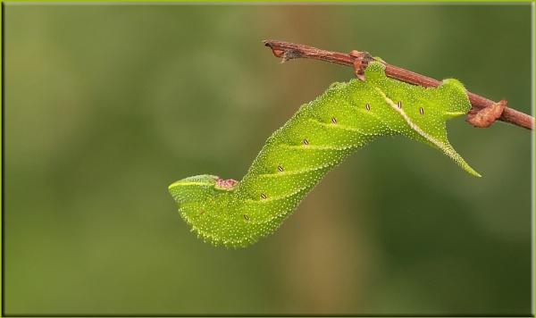 Eyed Hawkmoth Caterpillar by daffydill56