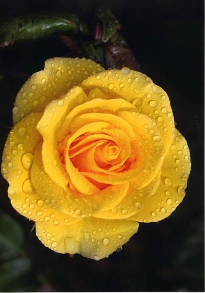 yellow by ambrosej9