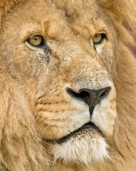 Lion portrait by roseyemma