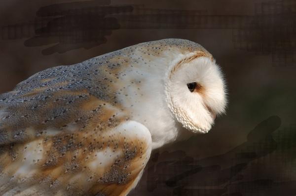 owl by unionjak