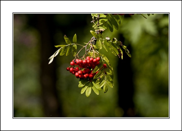 Mountain Ash by casson