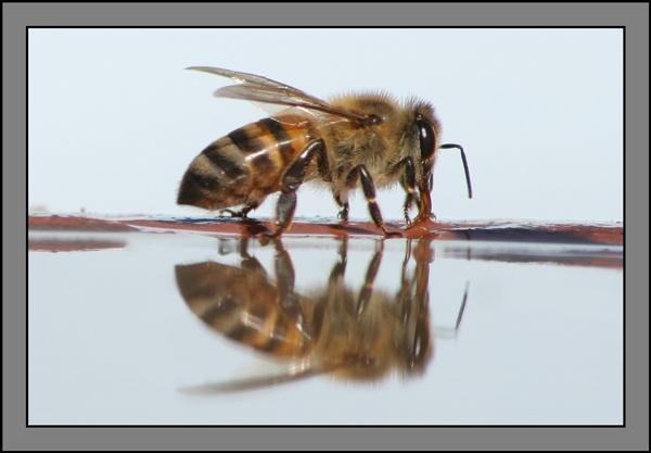 Bee #5 by Pieter_Kotzee