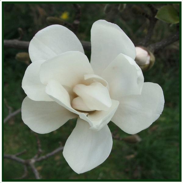 Magnolia by GDCsparky