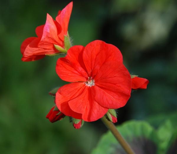 Red geranium by John45