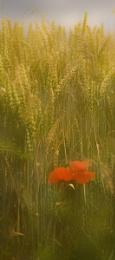 Barley Blur