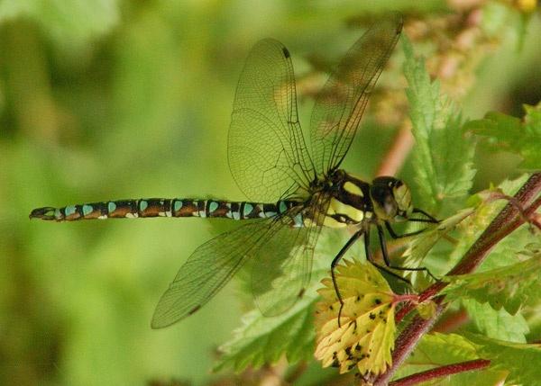 Dragonfly by BillM