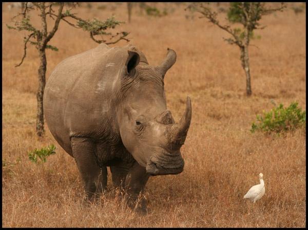 White Rhino by RuthBartram