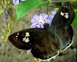 Busy Moth
