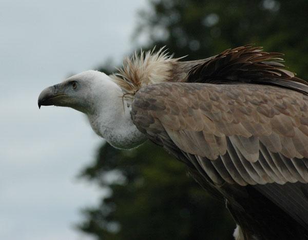 Eurasian Griffon Vulture (Gyps Fulvus) by brownbear1991