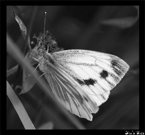 B&W butterfly by SRC15