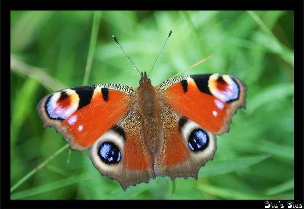 butterfly by SRC15